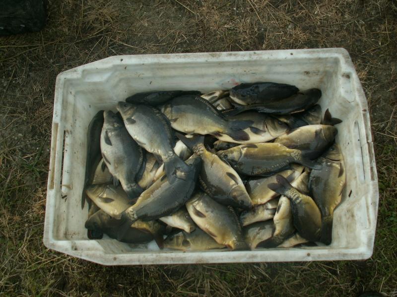 Sprzedaż karp kroczek amur lin tołpyga