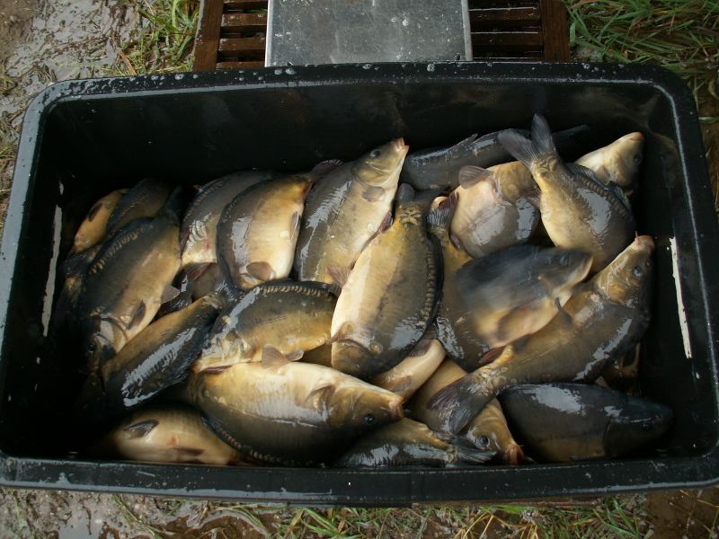Materiał zarybieniowy- karp lin amur tołpyga