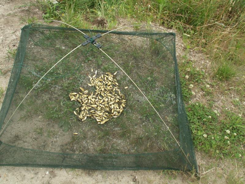 Sprzedaż ryb lipcówka karpia