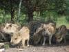 Dziki stałymi bywalcami na stawach 4