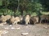 Dziki stałymi bywalcami na stawach