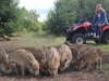Dziki stałymi bywalcami na stawach 8