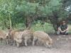Dziki stałymi bywalcami na stawach 11
