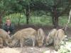 Dziki stałymi bywalcami na stawach 13