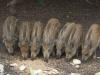 Dziki stałymi bywalcami na stawach 15