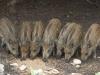Dziki stałymi bywalcami na stawach 2