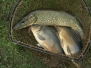 Odłowy i Sprzedaż Ryb Kwiecień 2013