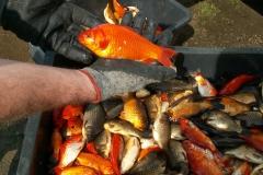 odlowy-zarybienie-sprzedaz-ryb-kolorowych