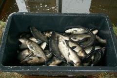 odlowy-zarybienie-sprzedaz-ryb-kroczek